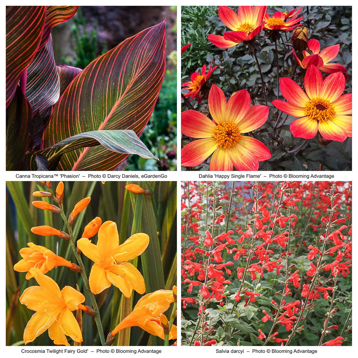 Showy Tropicalismo Border with Canna and Dahlia
