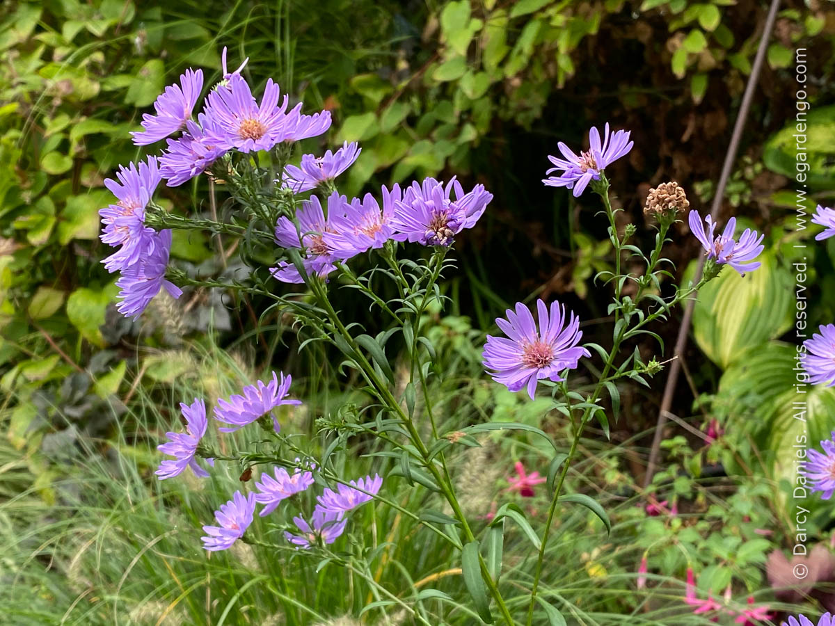 fall blooming aster