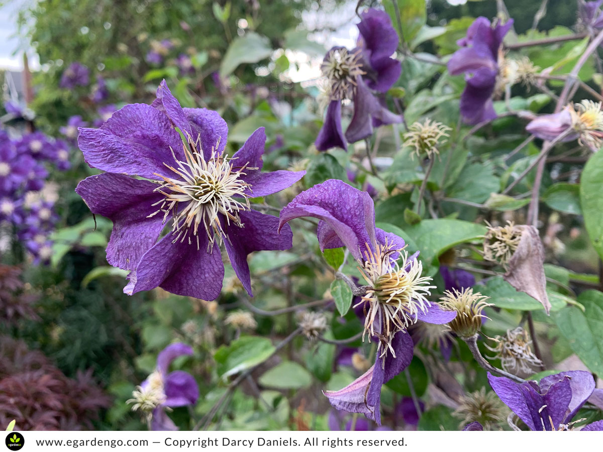 clematis hungry and mildewy